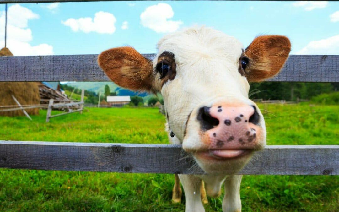 吃牛能拯救地球嗎?